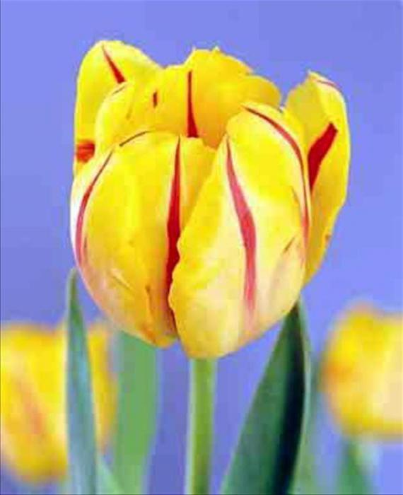 rani tulipani