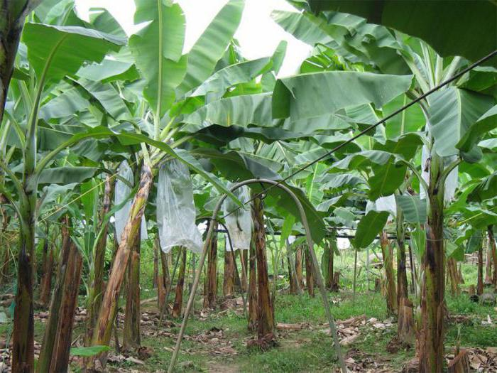 banana tekstil abaca