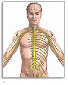 avtonomni živčni sistem je odgovoren