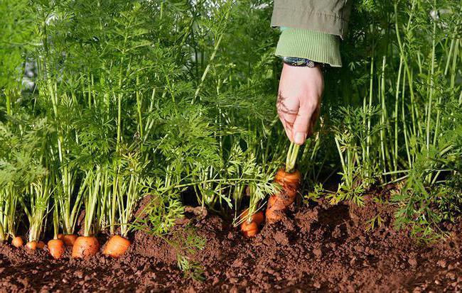 sjemenke mrkve najbolje su sorte za otvoreno tlo