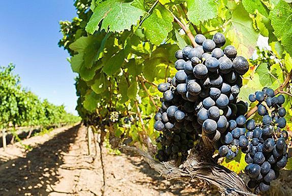 grožđe za vino