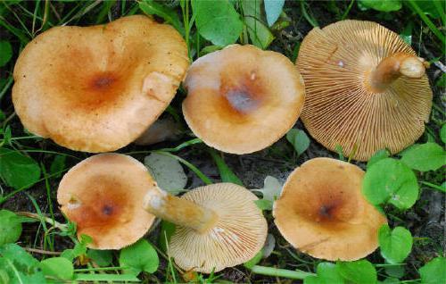 jak nakládat bílé mléčné houby