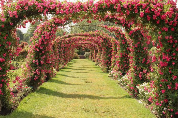 Odmiany kanadyjskiego parku róż w regionie moskiewskim