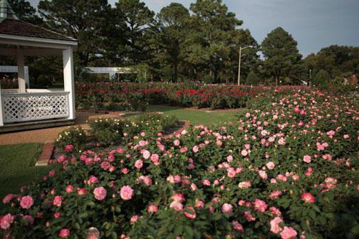 odmiany parkowych róż na zdjęcie przedmieść