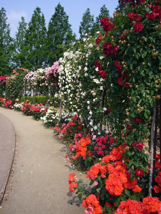 piękne odmiany róż z parku w rejonie Moskwy