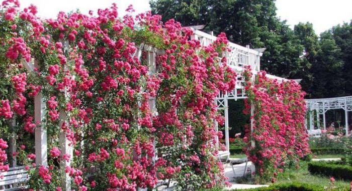 odmiany parkowe róże do sadzenia i pielęgnacji regionu Moskwy