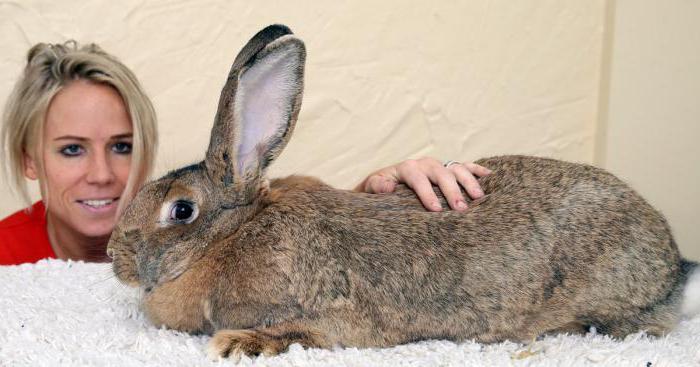 największy królik