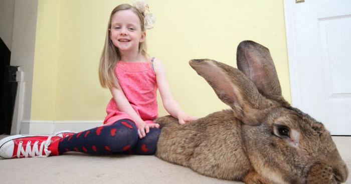 największa rasa królików