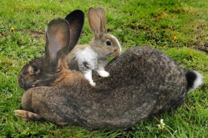 największe zdjęcie królika