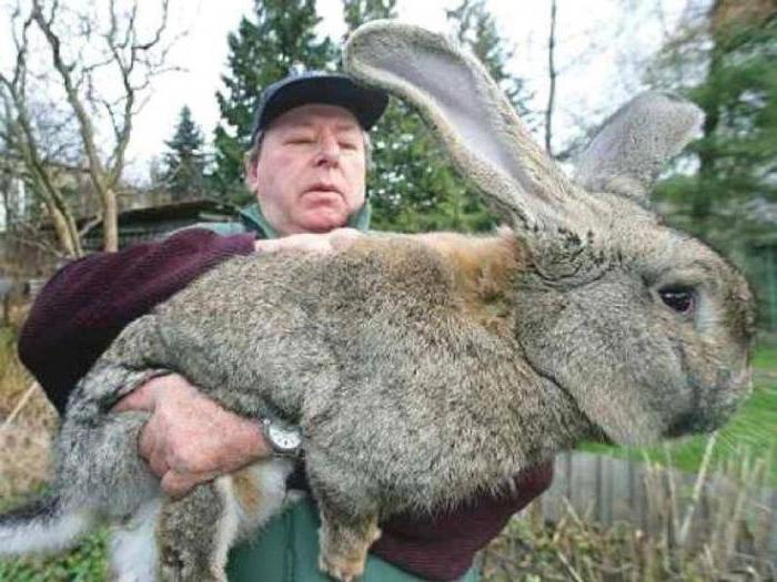 waga największego królika