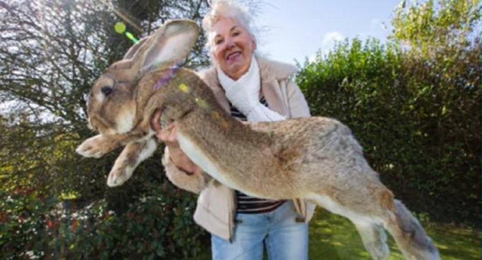 co to jest największy królik