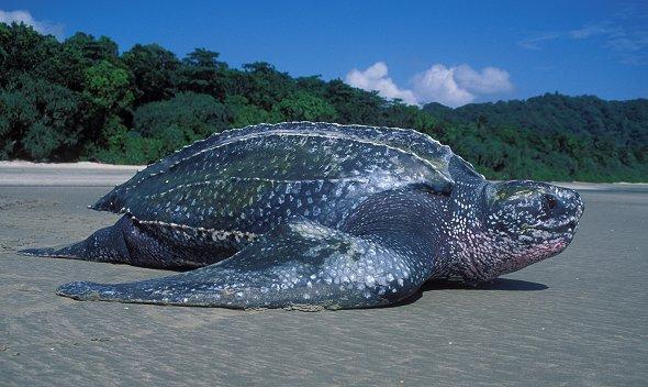 Tartaruga Leatherback