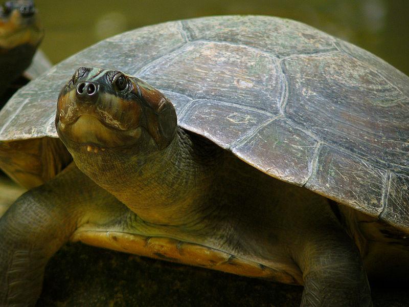 Turtle Arrau