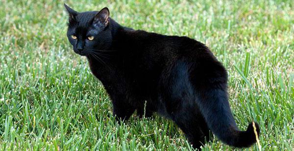 što uzgaja crne mačke