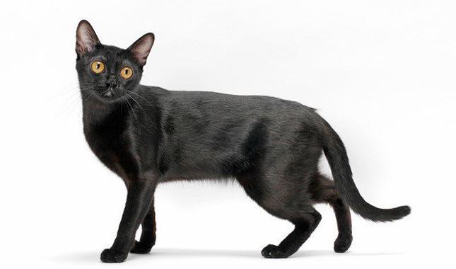 crna mačka uzgajati fotografiju