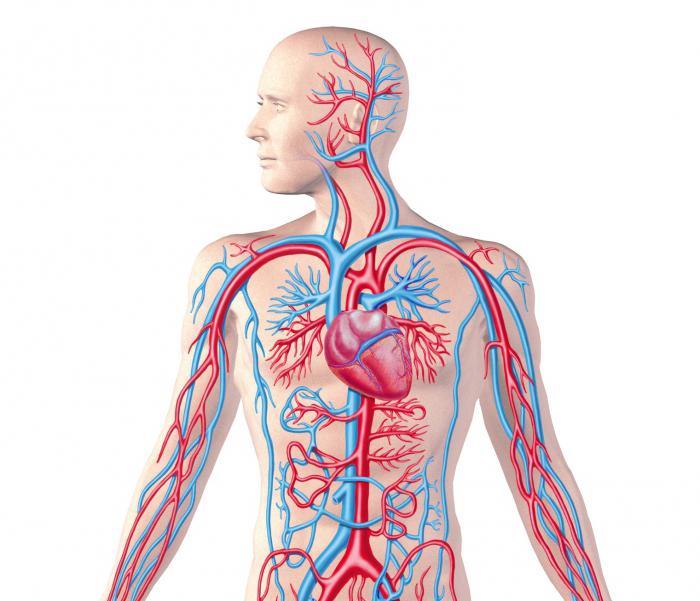 Regolazione dei vasi sanguigni