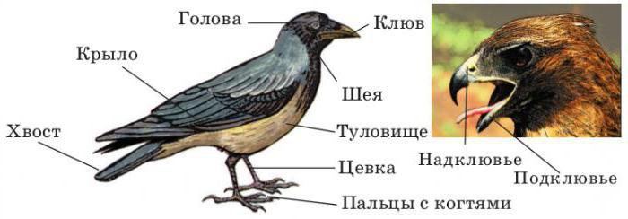struttura esterna degli uccelli