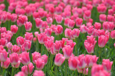 gorące różowe kwiaty
