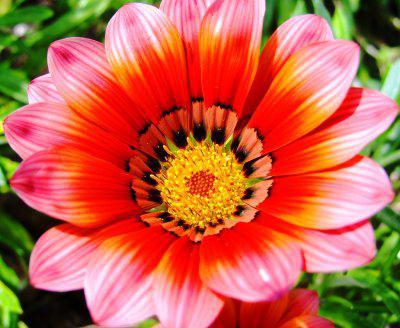 żółto-różowe kwiaty