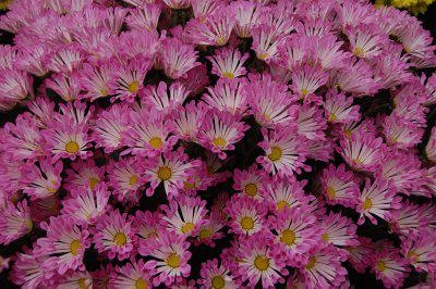 jasnoróżowe kwiaty