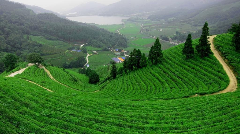 storia del tè di origine