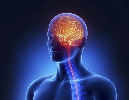 ludzki centralny układ nerwowy