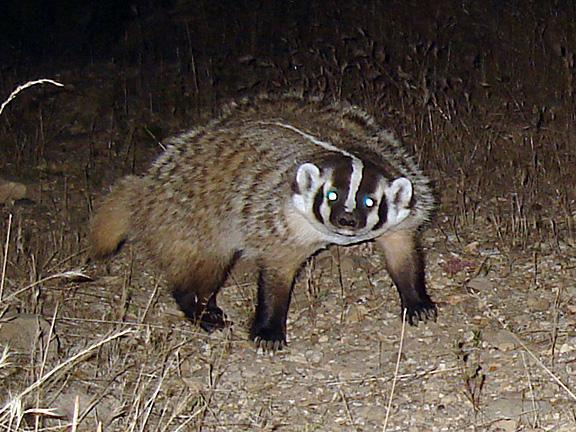 La caccia ai tassi di notte