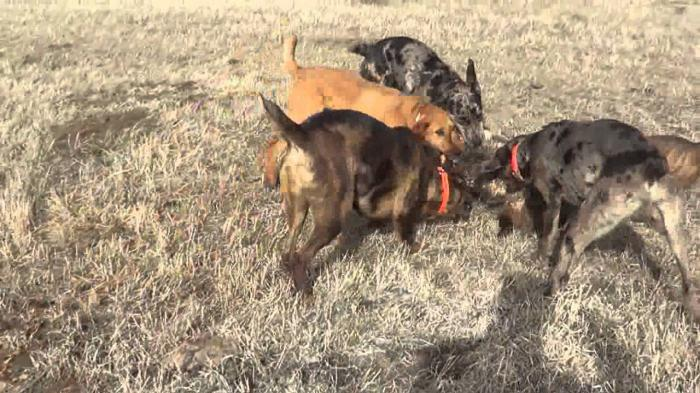 La caccia ai tassi con i cani