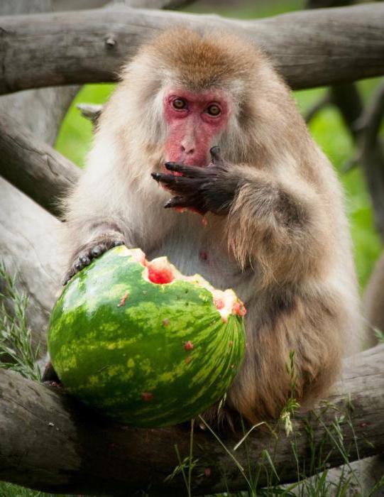 japoński makak