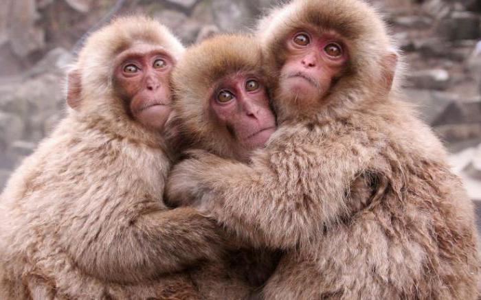źródło japońskiego makaka