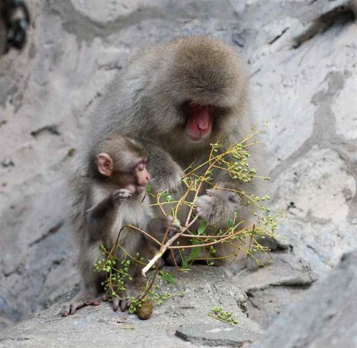 małpa śnieg japoński makak