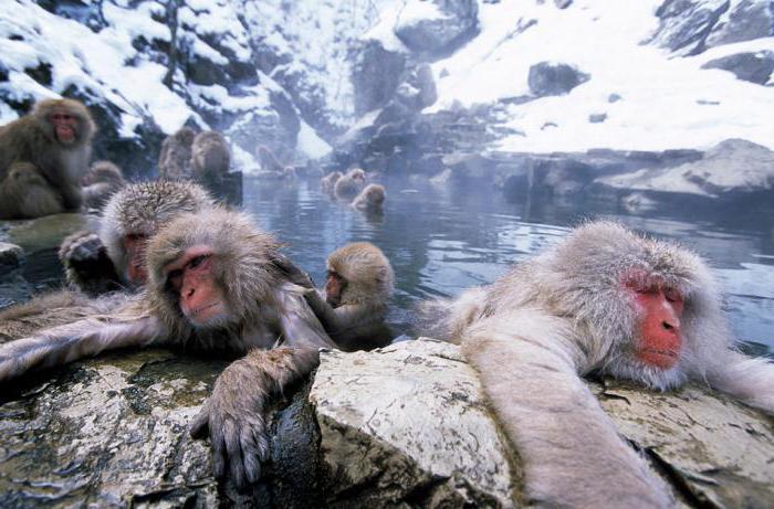 Japońskie makaki w gorących źródłach