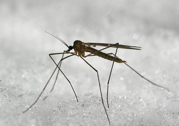veliki komarac