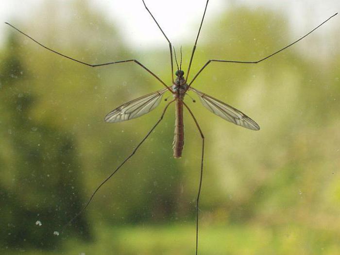najveći komarac na svijetu