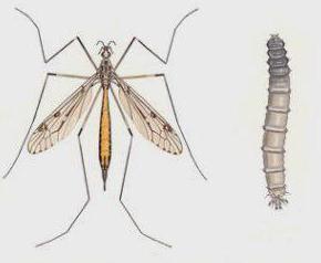 veliki komarac s dugim nogama