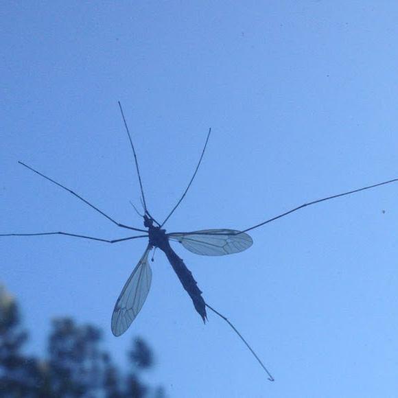 najveći komarac