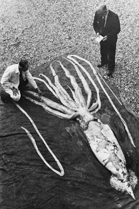 прича о гигантским лигњама