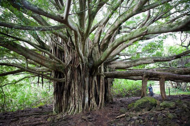 Największe drzewa na świecie