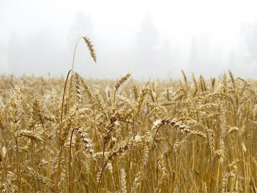 uzgoj žitarica