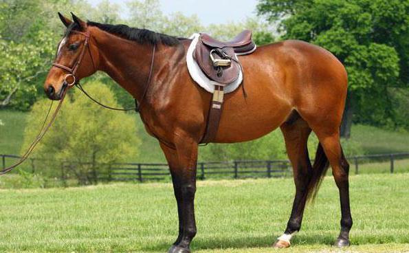 cavallo velocità massima