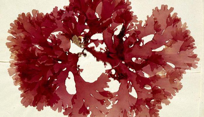 glony są najstarszymi roślinami na ziemi