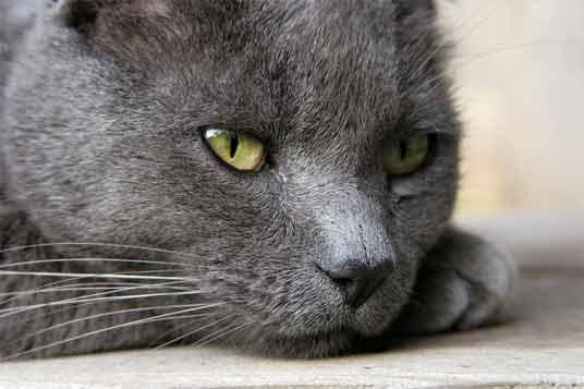 quali gatti sono i più belli
