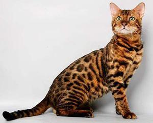10 gatti più belli