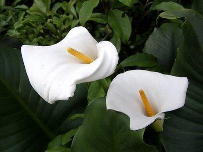 најлепши цвет на свету