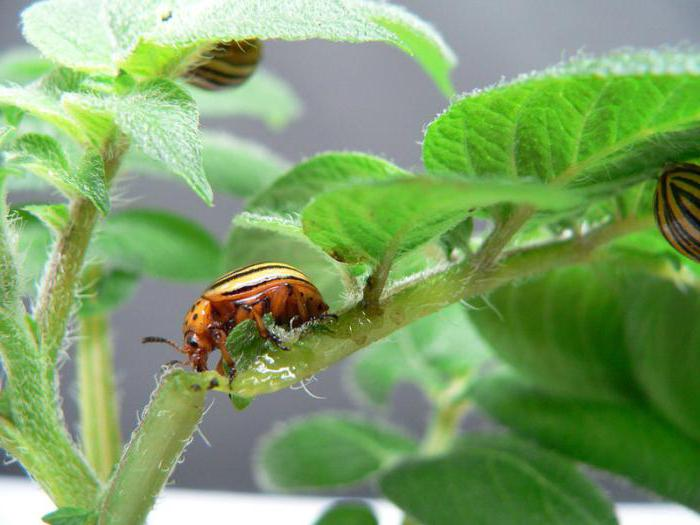 Какво е най-ефективното лекарство за колорадския бръмбар?