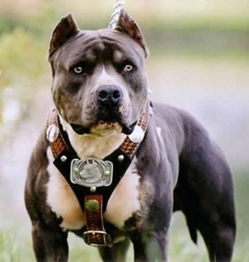 љути пас