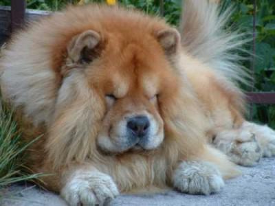това, което е най-скъпата порода кучета