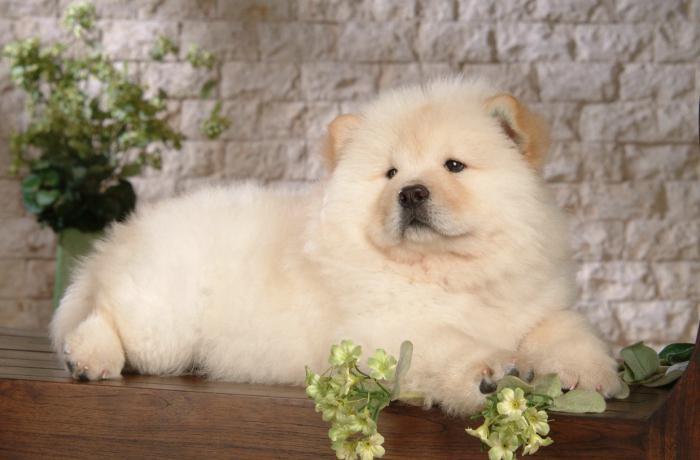 10 най-скъпи породи кучета