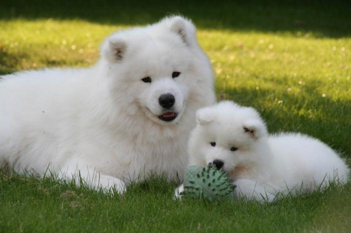 скъпи породисти кучета