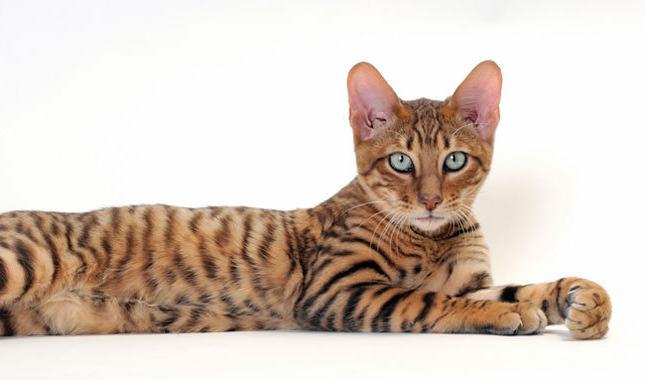 најскупља мачка на свету